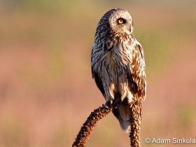 APS_Sinkula_Short-eared owl_short-eared owl 2-1