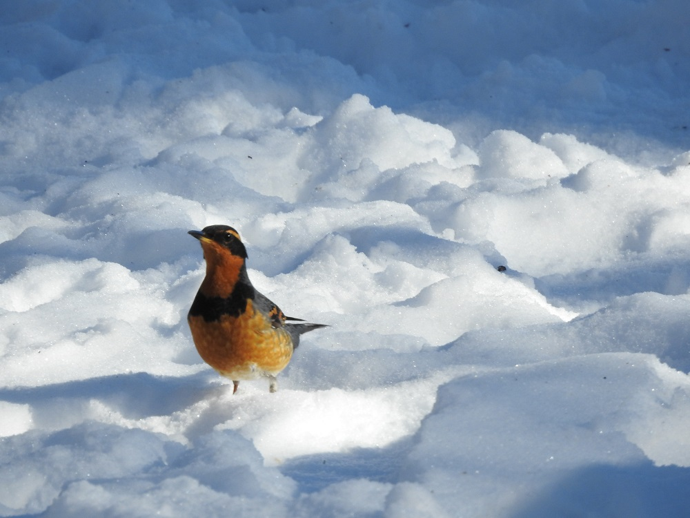 Rare Varied Thrush photo 3 21