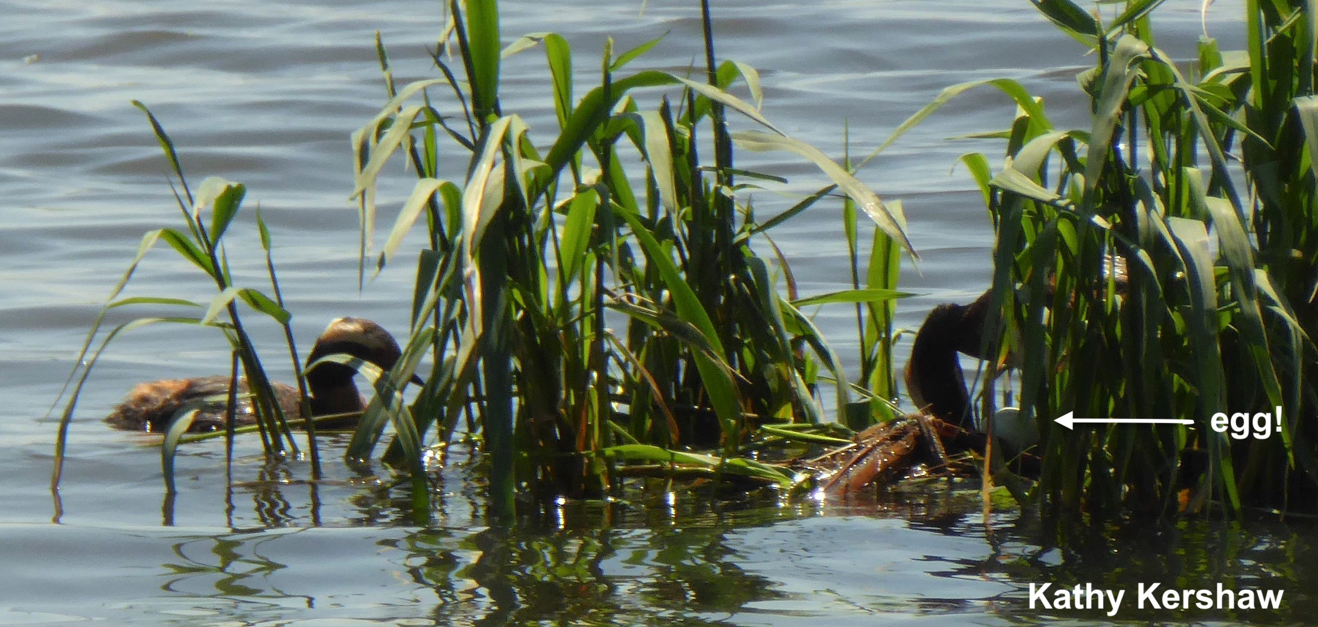 Atlas Grebe photo 7 19