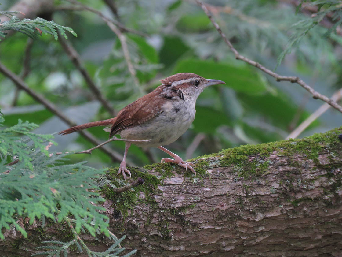 Carolina Wren 2019 8 25 Baxters Hollow 3806