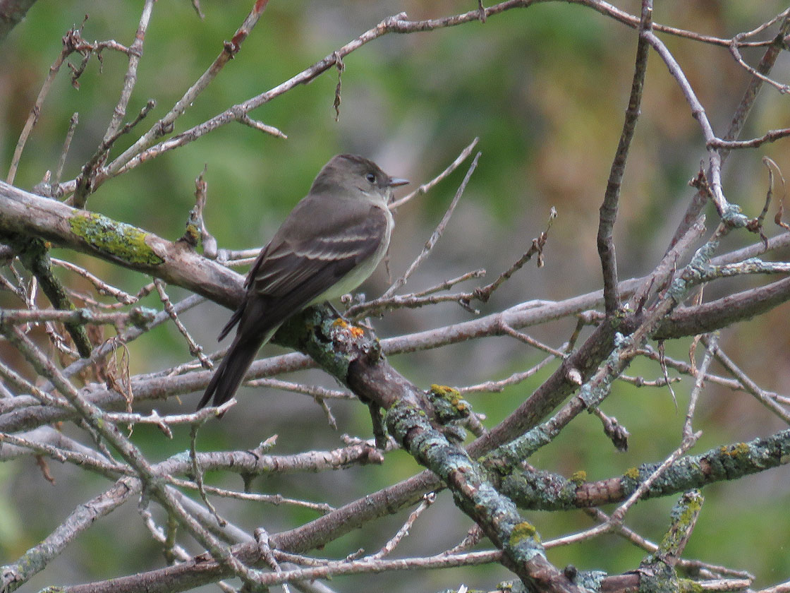 E Wood Pewee 2020 9 13 Bay Beach Green Bay 2758