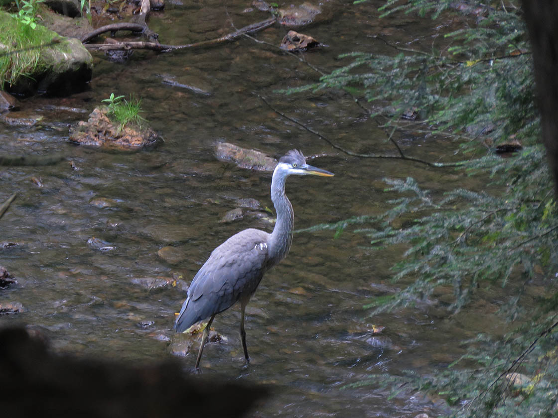 Great Blue Heron 2019 8 24 HoneyCreek 3658