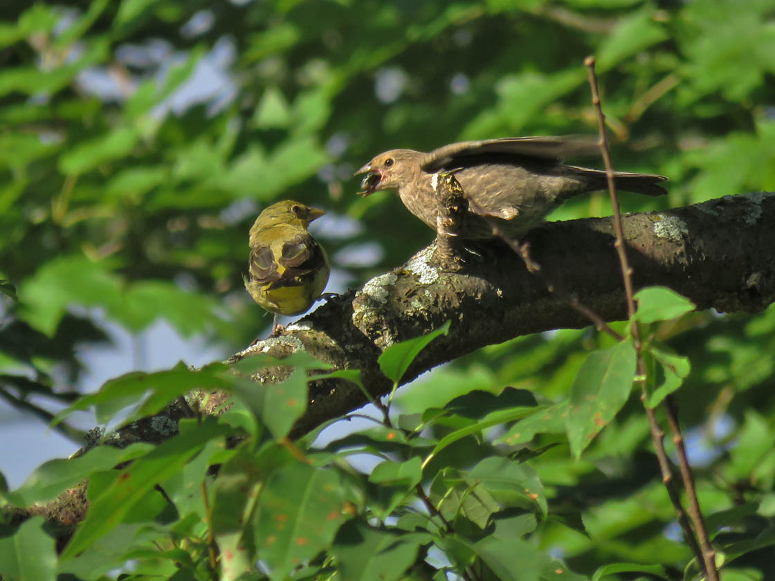Scarlet Tanager f with juv cowbird 2019 8 24 HoneyCreek 3621